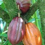 Kakao hält Gehirn fit