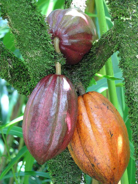 gesundheit  Kakao hält Gehirn fit  Kakaobohne