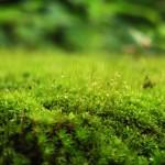 Moos-Pflanzen reinigen die Luft