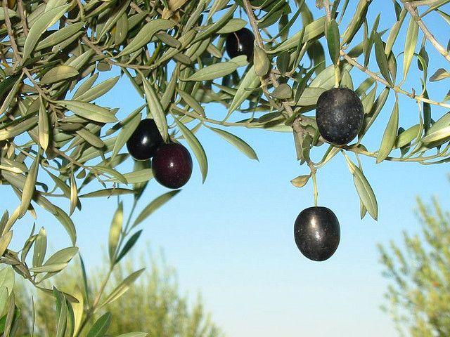 Oliven, Olivenkerne, Energie, positive nachrichten
