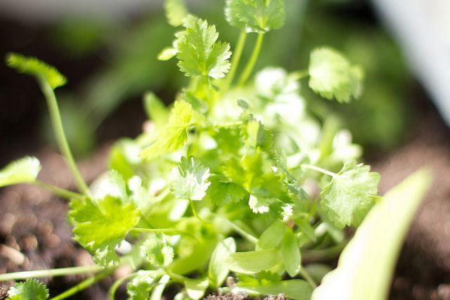 Koriander, Trinkwasser, Reinigung, positive nachrichten, heilpflanze