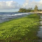 In Brasilien entsteht erste industrielle, algenbetriebene Ethanolanlage