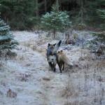 Fuchs und Hund – eine außergewöhnliche Freundschaft