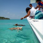 Schwimmen mit Schweinen