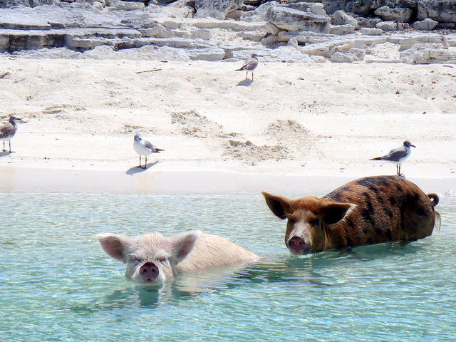 schwimmende schweine, bahamas, exuma, positive nachrichten