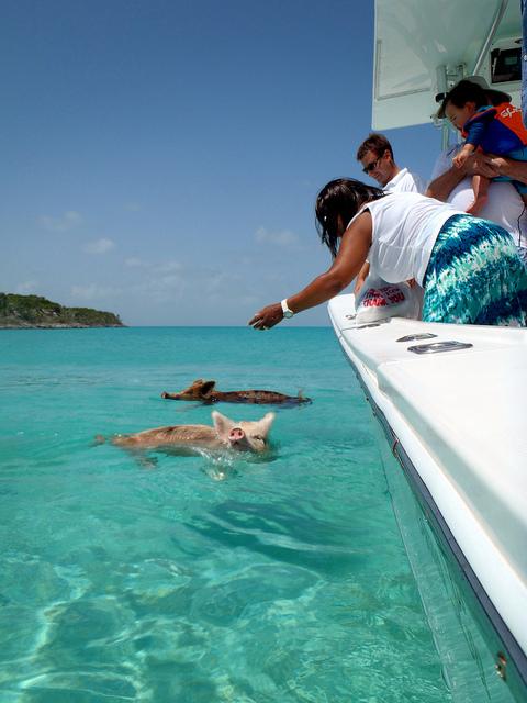 schwimmende schweine, bahamas, positive nachrichten