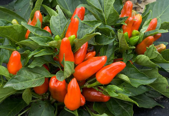 umwelt  Österreichs größte Gartenfachmarkt Kette setzt ein Zeichen Spitzpaprika