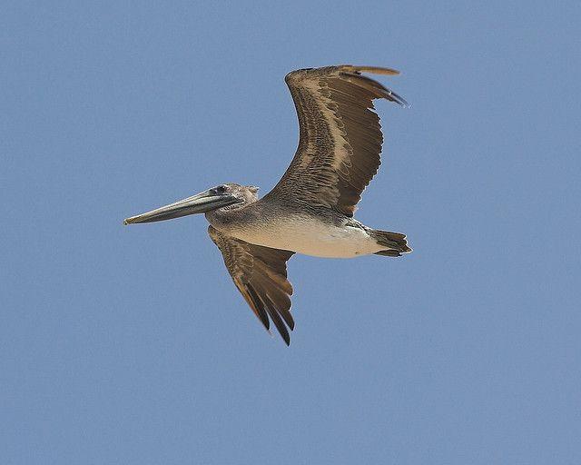 Pelikan, lernt fliegen, GoPro, positive nachrichten