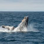 Wal wird von Fischernetz befreit und bedankt sich auf seine Art