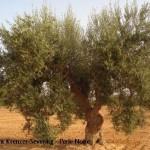 Deutlich mehr sekundäre Pflanzenstoffe in alten Olivensorten