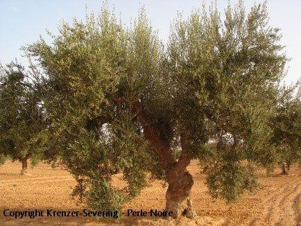 Chemlali Olivenbaum, positive nachrichten