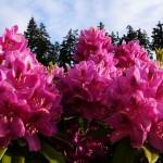 Natürliche Antibiotika aus Rhododendren