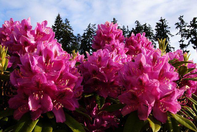 Rhododendren, heilkraft, pflanze, antibiotika