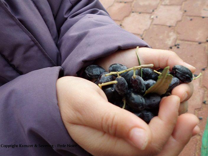 Winzige Chemlali Oliven, positive nachrichten