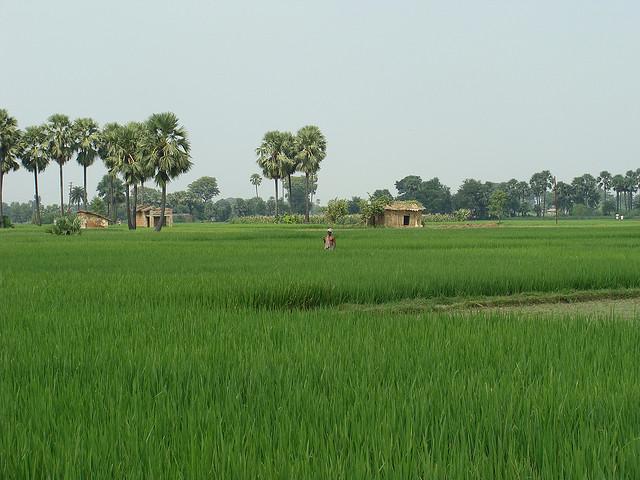 Reisplantagen in Bihar, Indien, SRI-Methode