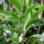Neu entdeckte Pflanze recycelt Nickel