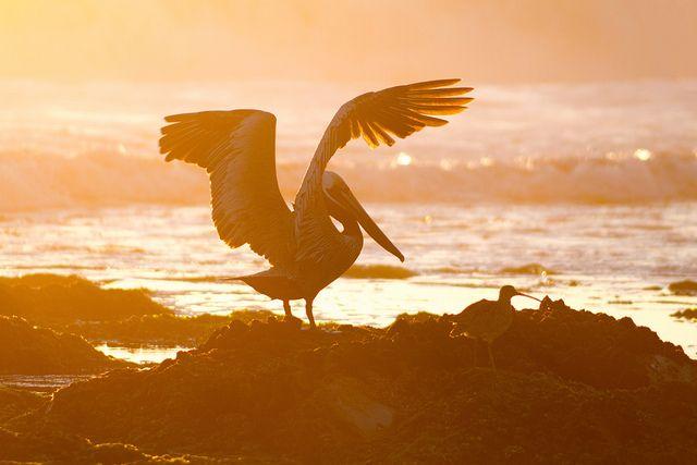 Pelikan, Voegel, Meer, positive nachrichten