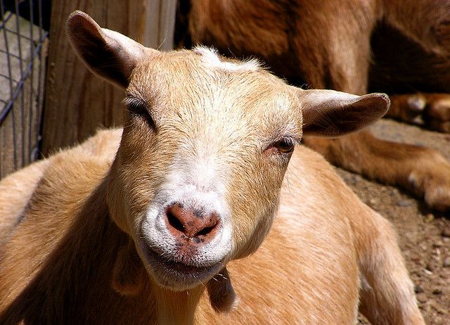laechelnde Ziege, positive nachrichten