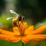US-Behörde verbietet giftige Chemie für Bienen