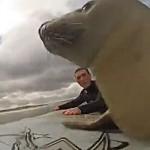 Robbe begleitet Surfer - der wohl niedlichste Wellenreiter der Welt