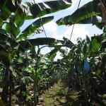 Soziale Unternehmensverantwortung bei der Bananenproduktion