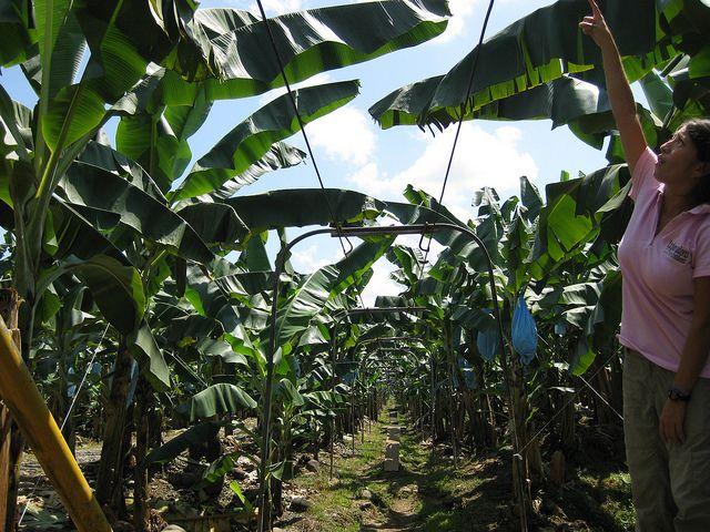 Bananenplantage, positive nachrichten