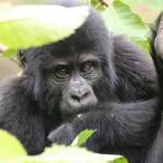 Die schlauen Berggorillas aus den Virunga-Bergen