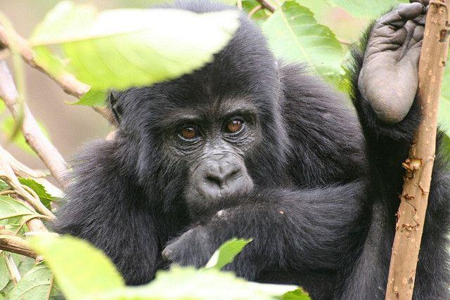 junge Berggorillas, Buschfallen, positive nachrichten