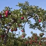 Je älter der Baum, desto wertvoller die Frucht