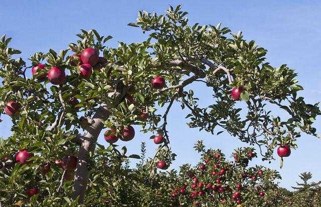 Apfelbaum, positive nachrichten