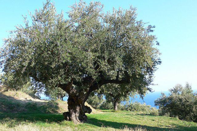 alter Olivenbaum, positive nachrichten