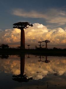 madagaskar, Baobab, Affenbrotbaum, positive nachrichten