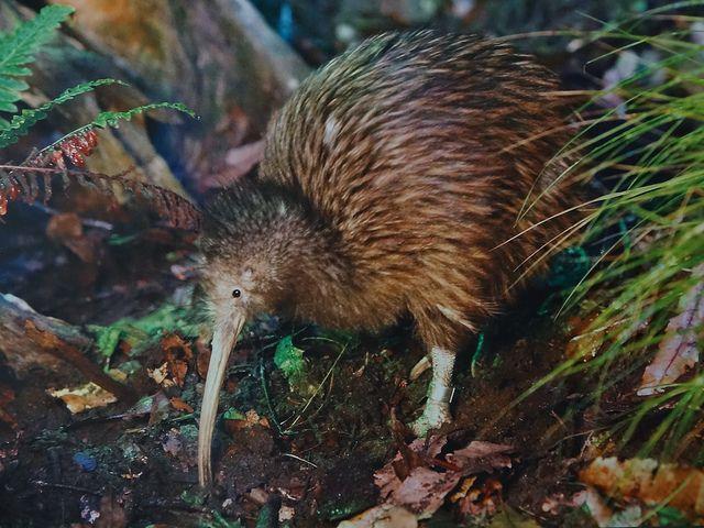 Ein Kiwi in der Natur