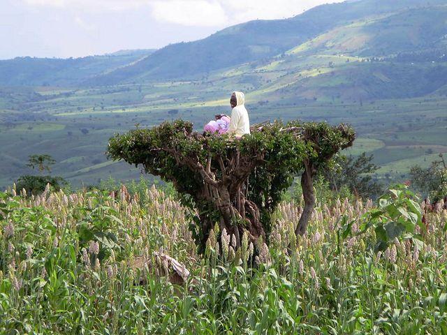 In Südäthiopien: Ein Farmer hält Ausschau in einer Baumkrone