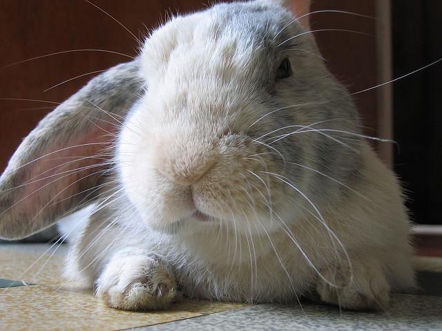 Ein weißer Hase mit langen Ohren schaut in die Kamera