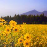 Silphie – der Ersatz für Mais als Energiepflanze
