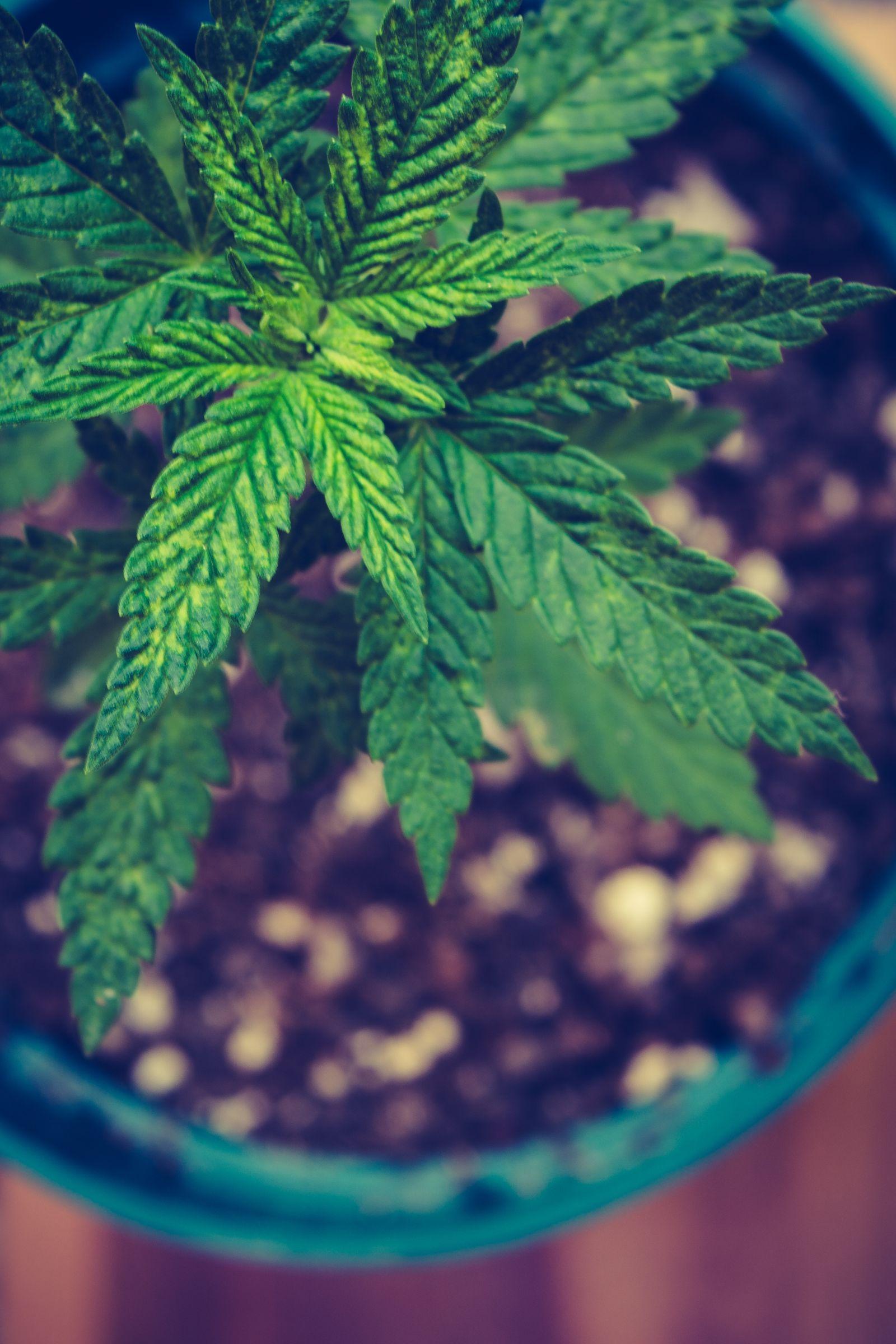 Eine heranwachsende Hanfpflanze in einem Topf von der Draufsicht fotografiert.