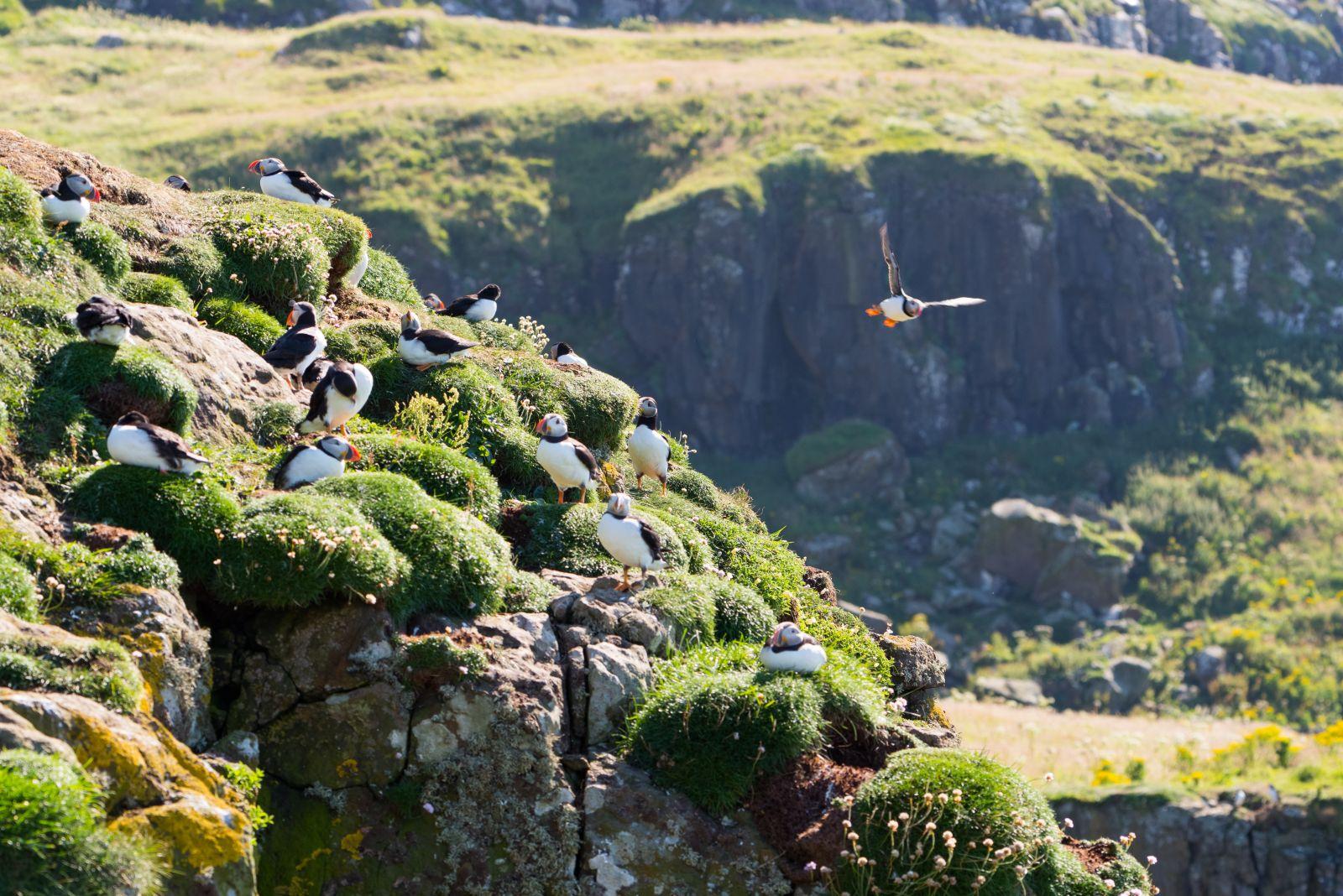 Eine größere Gruppe von Papageientauchern, die sich um einen grünen Felsen ansammeln.
