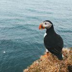 USA: Die Rückkehr der Papageientaucher nach Maine