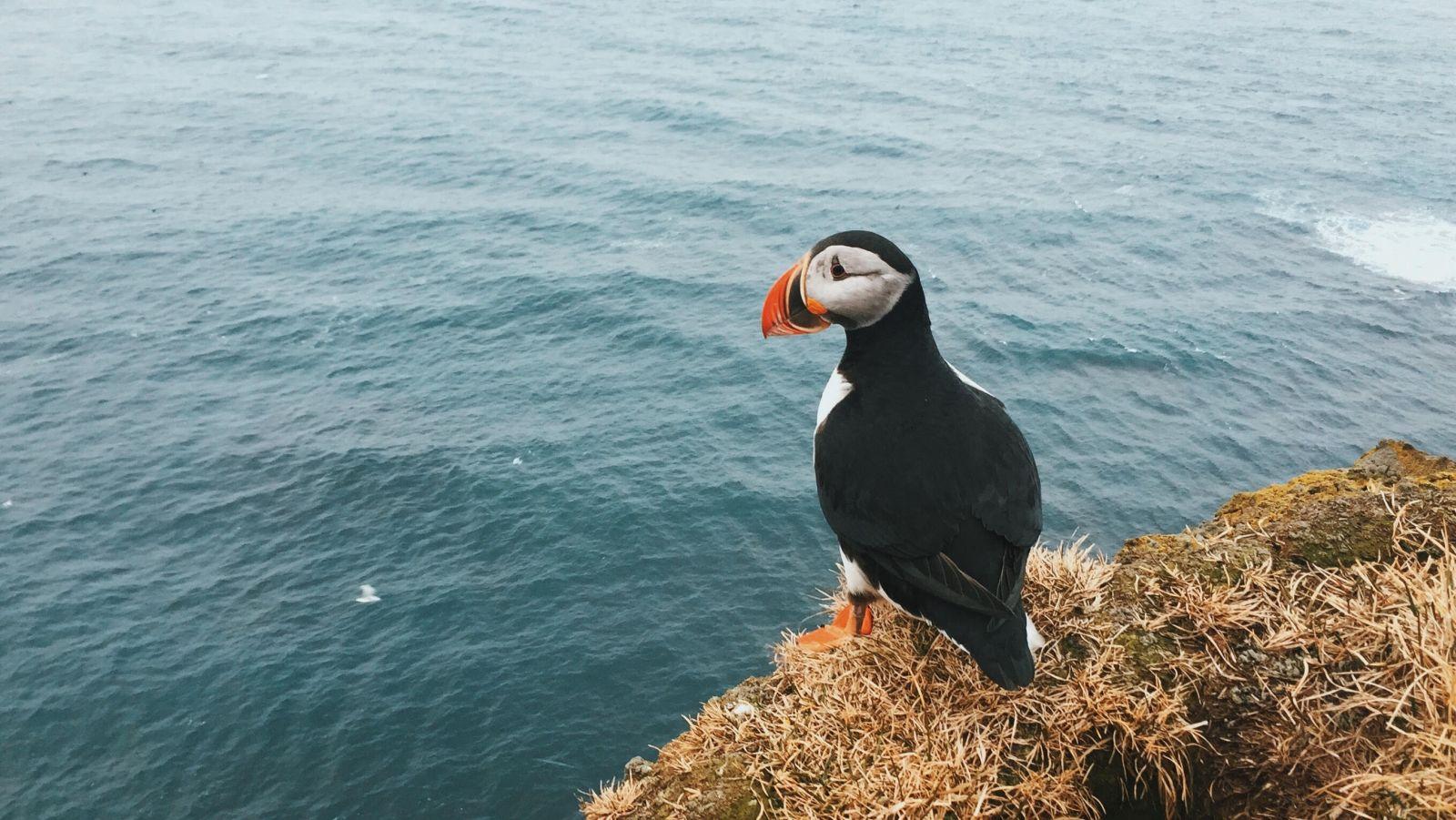 Ein Papageientaucher sitzt an einem Felsvorsprung und blickt auf das offene Meer.