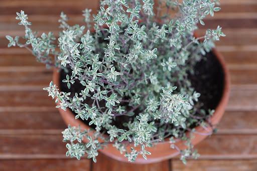 Thymianpflanze in einem Tontopf