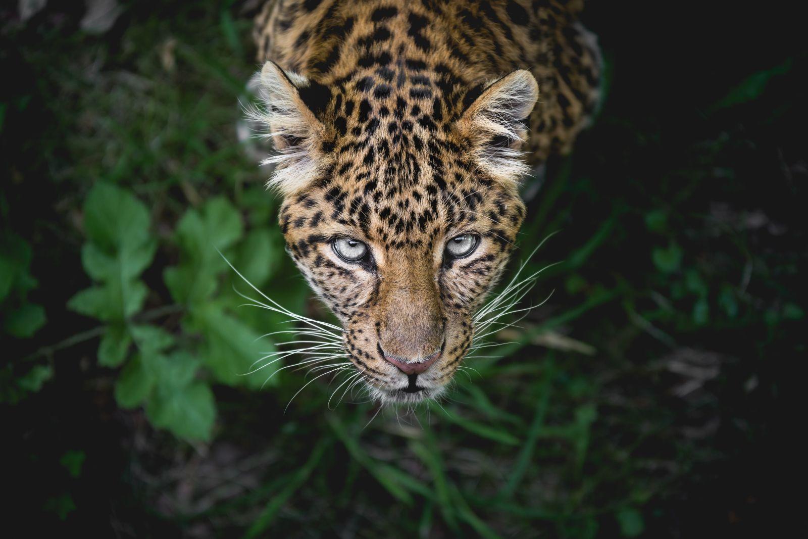 Ein Leopard der nach oben in die Kamera blickt