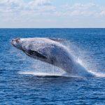 Gesetz: Kanada verbietet Gefangenschaft von Walen und Delphinen