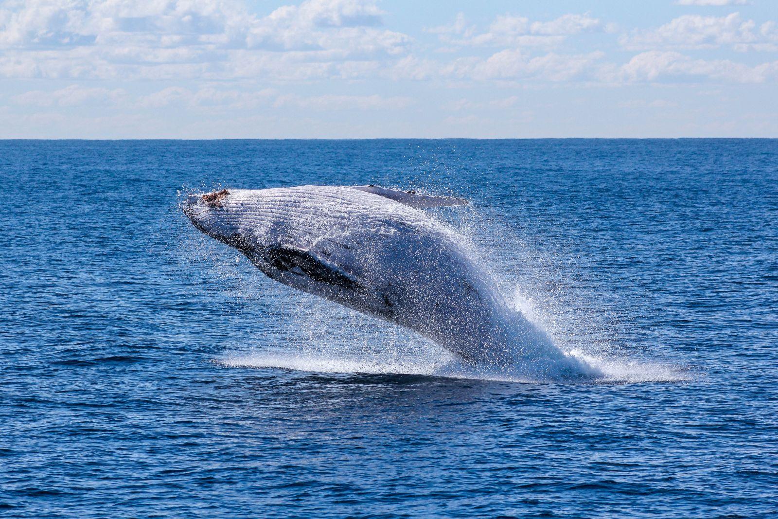 Ein Buckelwahl der sich auf atemberaubende Weise aus dem Meer in die Luft schraubt und sich in jenem Moment wieder zurück fallen lässt