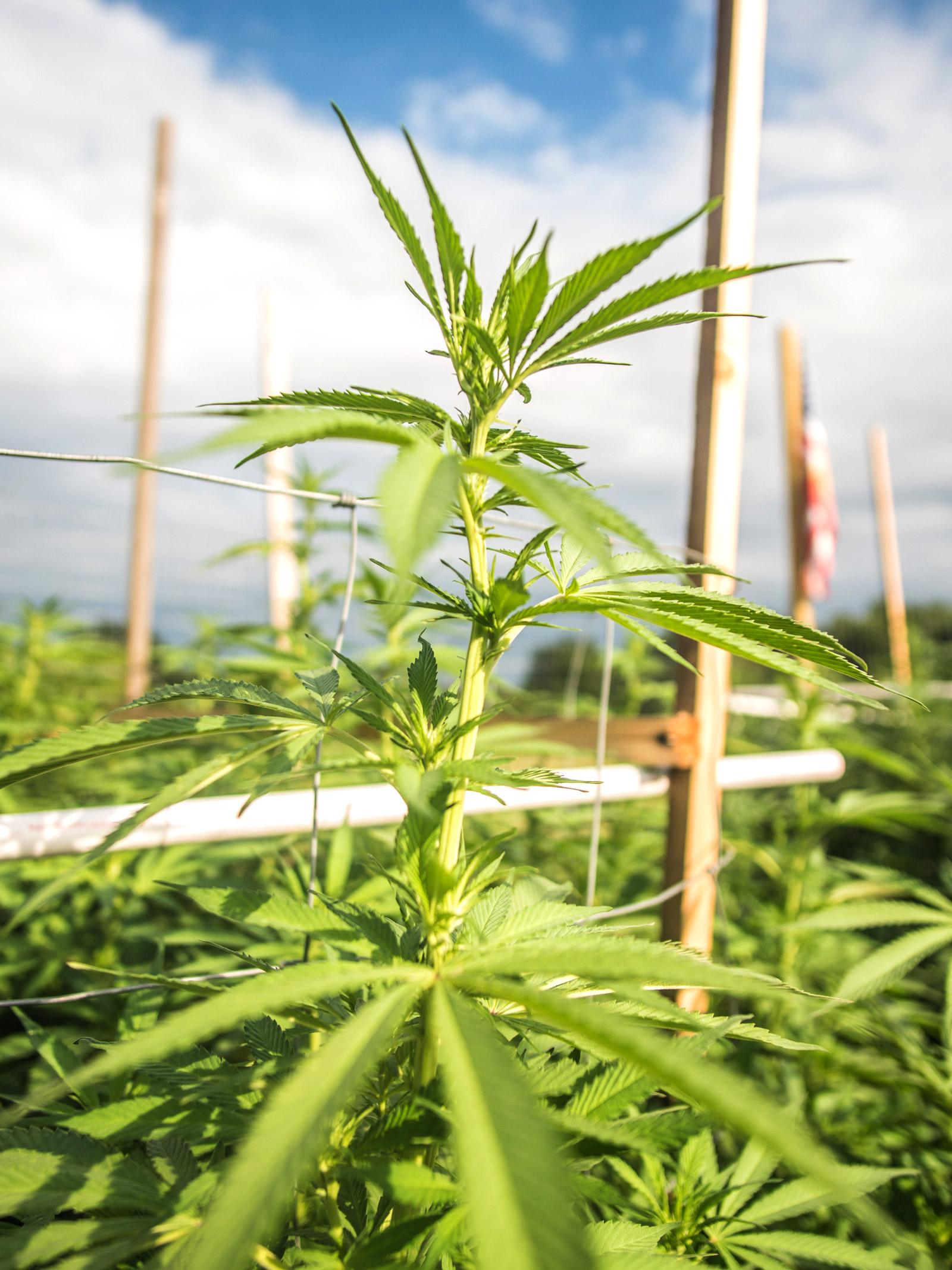 Eine Hanfplantage im Freien