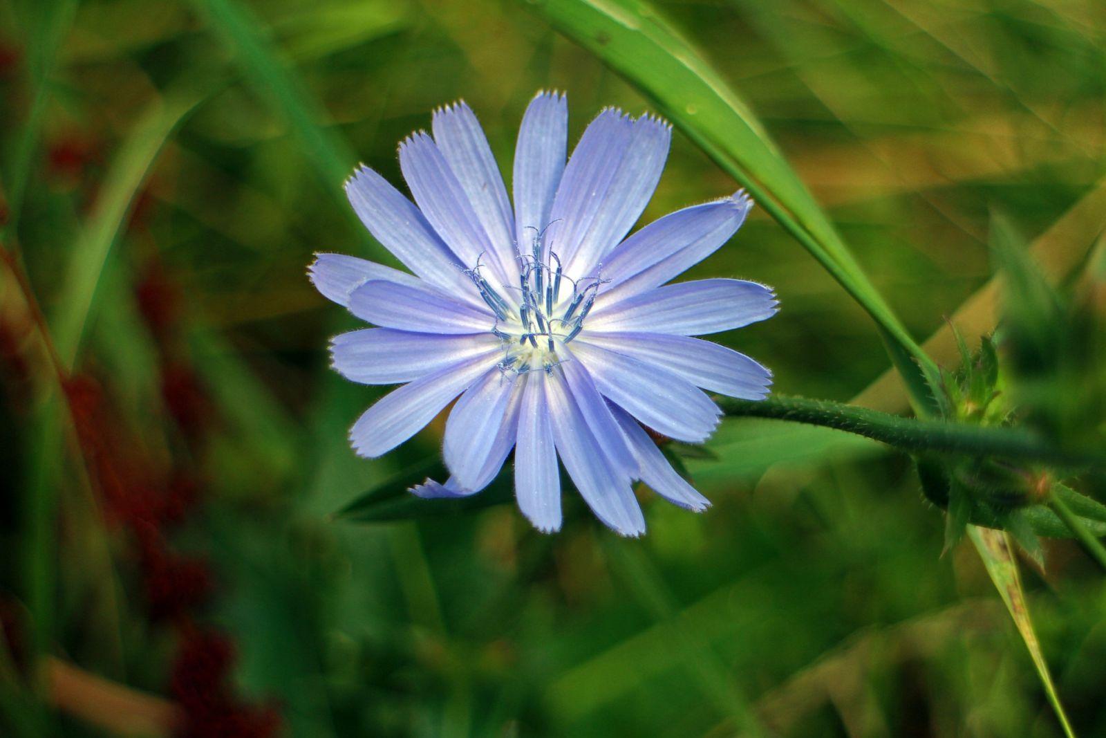 Schöne himmelblaue Blüte der Heilpflanze Wegwarte