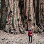 Mammutbäume überleben Waldbrand in Kalifornien