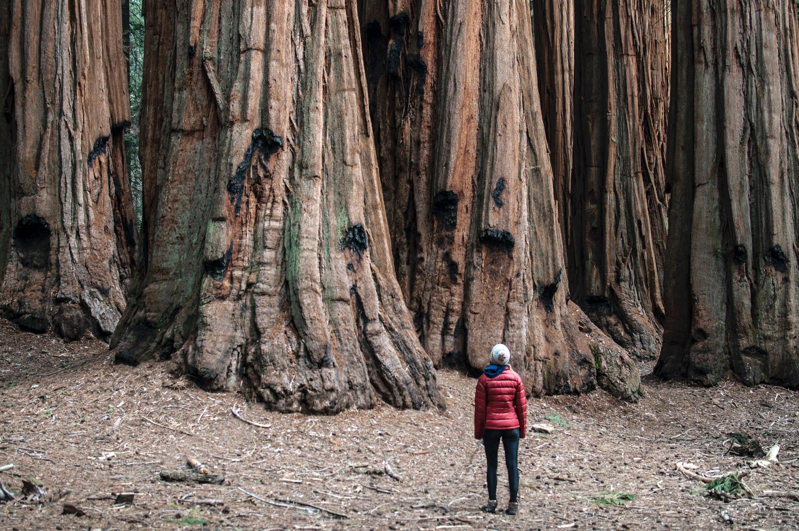 Eine Frau mit roter Daunenjacke steht vor ein paar Mammutbäumen. Sie wirkt unglaublich winzig. Die Bäume haben bestimmt einen Umfang von drei bis vier Metern. Die alten Bäume haben an manchen Rindenstellen schwarze Flecken, die an Verbrennungen vergangener Feuer erinnern.
