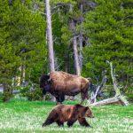 Montana: Bisons kehren in den Schutz der Indianer zurück