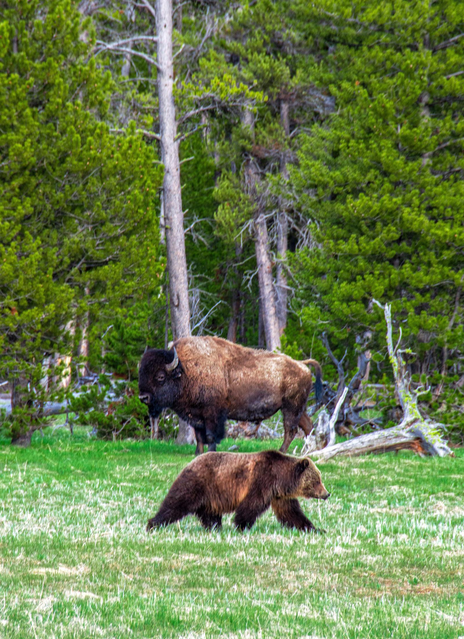 Ein Bison im Vordergrund eines Grizzlybärs die beide auf einer Waldlichtung stehen